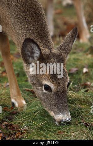 White-tailed deer, doe, (Odocoileus virginianus), New York - Stock Photo
