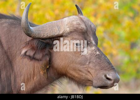 African buffalo or Cape buffalo (Syncerus caffer) with Red-billed oxpecker (Buphagus erythrorhynchus) on its neck, - Stock Photo