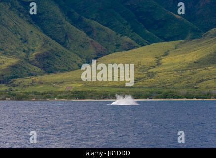 Giant splash as a humpback whale enters the Pacific Ocean off the coast of west Maui with the mountains as a backdrop - Stock Photo