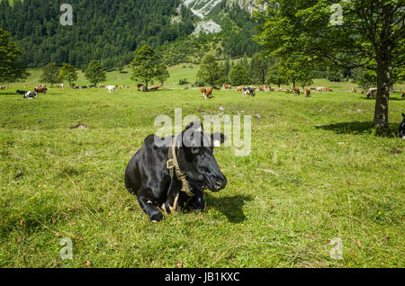 Black cow in Alpenpark Krwendel - Stock Photo