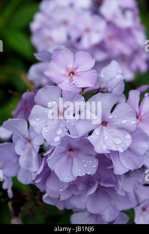 Phlox paniculata 'Franz Schubert' - Stock Photo