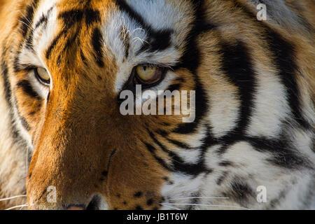 Staring eyes of a Siberian tiger, Hengdaohezi tiger conservation park, near Hailin city in Heilongjiang province, - Stock Photo