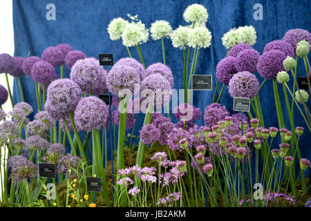 Ardingly Sussex UK 8th June 2017 - Allium flowers on display at the South of England Show held at the Ardingly Showground - Stock Photo