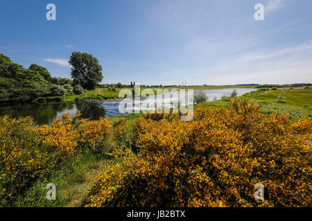 Lippe, renaturalised meadow landscape nearby the river estuary in the Rhine, Broom shrub with yellow flowers, Wesel, - Stock Photo