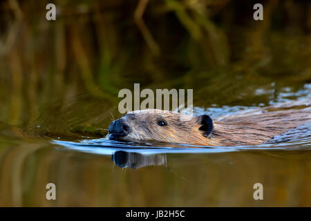 A close up inage of a wild beaver (Castor canadensis) swimming through the calm water of his pond - Stock Photo