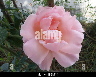 A romantic floral background. Flower. Rose closeup on green. - Stock Photo
