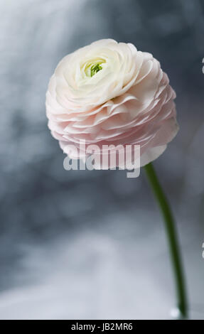 Flower Ranunculus.  Flower bud. - Stock Photo