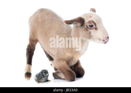 young lamb and chick  in front of white background - Stock Photo