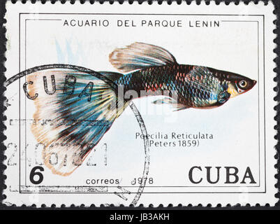 CUBA - CIRCA 1978: A postage stamp printed in the Cuba shows Poecilia Reticuata - guppy fish, circa 1978 - Stock Photo