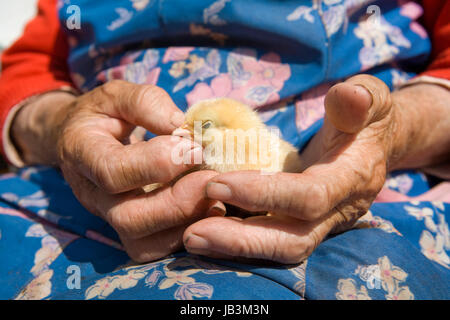 old peasant woman holding chicken in her wrinkled hands - Stock Photo