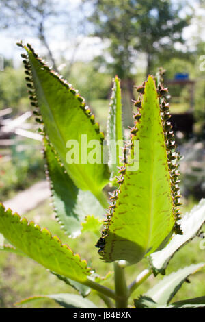 Young plants of Kalanchoe on leaf, Mother of Thousands, Alligator Plant, or Mexican Hat Plant Kalanchoe daigremontiana - Stock Photo
