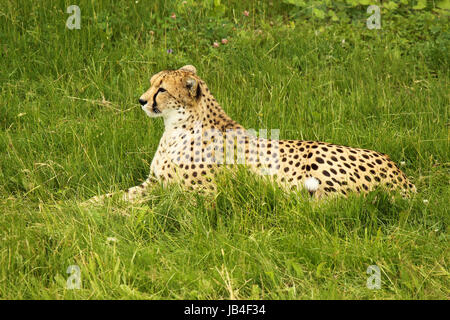 A Cheetah perked up while resting in a grassland. - Stock Photo