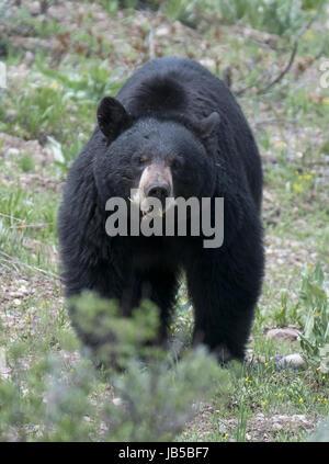 American black bear (Ursus americanus), Grand Teton National Park, Wyoming, USA, North America. - Stock Photo
