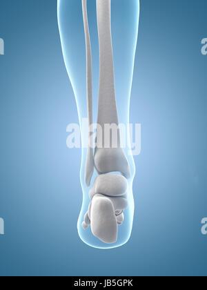Transparent Female Skeleton Foot Bones Stock Photo 88492808 Alamy