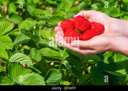 Handful fresh picked delicious strawberries held over strawberry plants. - Stock Photo