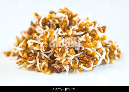Alfalfa Keime - Stock Photo