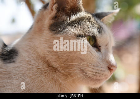 Close shot take  in the morning while some rituals going on side by side. Old cat, smart and intelligent. Thinking - Stock Photo