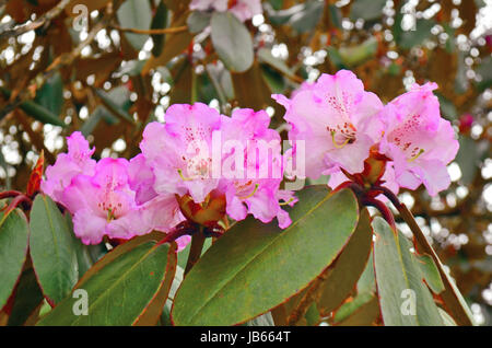 Pink Rhododendron Flowers in Nepal, Annapurna Conservation Area, Mardi Himal track. - Stock Photo
