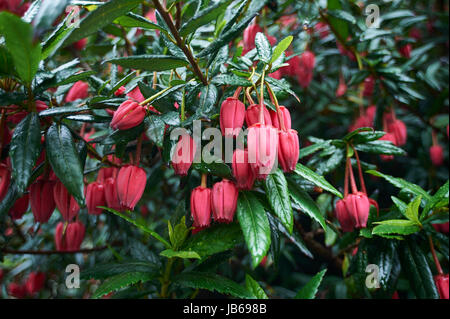 Crinodendron hookerianum Chilean lantern tree - Stock Photo