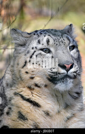 Close up portrait of snow leopard (or ounce, Panthera uncia) young female looking aside of camera, low angle view - Stock Photo