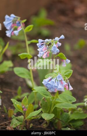 Virginia Bluebells (Mertensia virginica). - Stock Photo