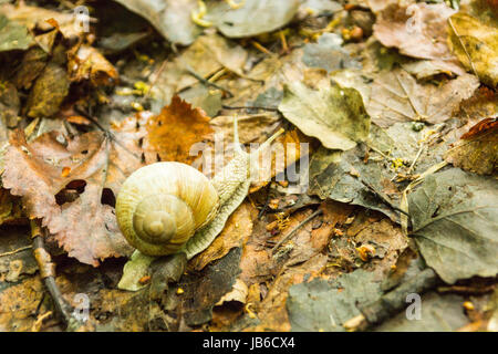 Crawling snail on yellow wet foliage. Snail in nature. - Stock Photo