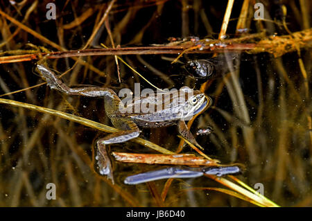 A side view of a wood frog floating in  shallow water - Stock Photo