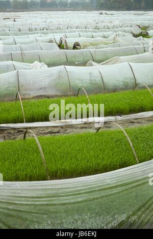 Rice nursery, Van Lam, Ninh Hai, near Ninh Binh, Vietnam - Stock Photo