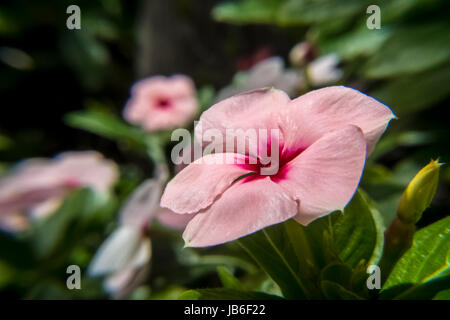 White, pink and red periwinkle - Stock Photo