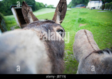 Welsh farmer's donkeys George and Sam looking into the camera of a wet and windy day with farm cottage in the background, - Stock Photo