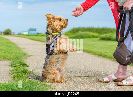 Dog on hind legs. Yorkshire Terrier crossed with Border Collie dog awaiting food from owner. - Stock Photo