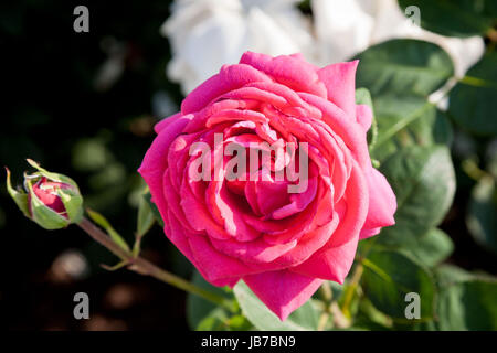 Pink roses on their trees in the Serbian countryside, white flowers can be seen in the background  Picture of pink - Stock Photo