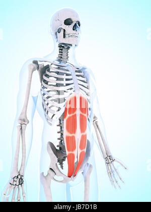 3d rendered illustration of the abdominal musculature - Stock Photo