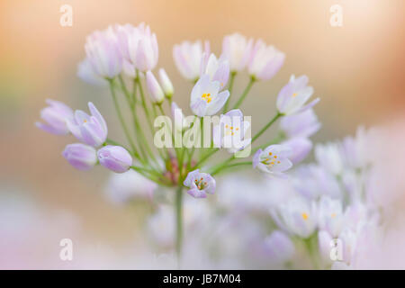 Close-up image of the delicate little Allium roseum flowers also known as rosy-flowered garlic or rosy garlic. - Stock Photo