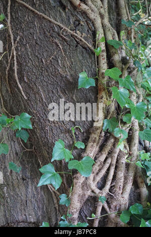 Wild Ivy Plant Clinging to the trunk of a tree in Stewart Park Middlesbrough - Stock Photo