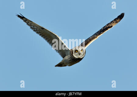 Short-Eared Owl Asio flammeus in flight and hunting during daylight at Malacleit, North Uist, Outer Hebrides Scotland - Stock Photo