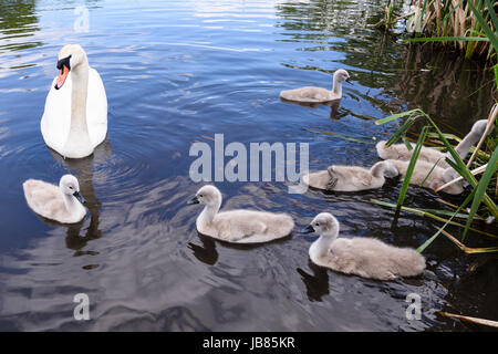 Female mute swan with six 6 cygnets swimming in a lake - Stock Photo