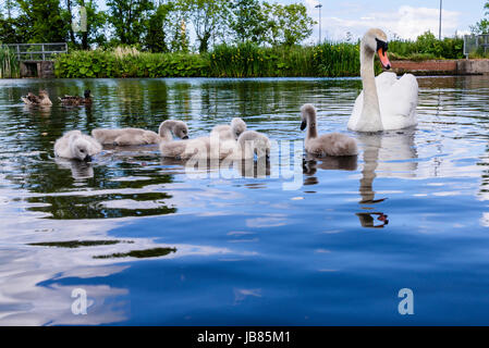 Female mute swan with five 5 cygnets swimming in a lake - Stock Photo