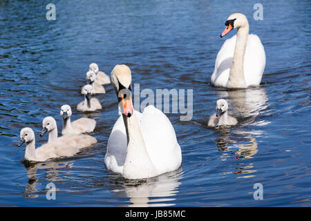 Male and female mute swans with eight 8 cygnets swimming in a lake - Stock Photo