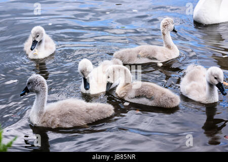 Six 6 mute swan cygnets swimming in a lake while the mother looks on. - Stock Photo
