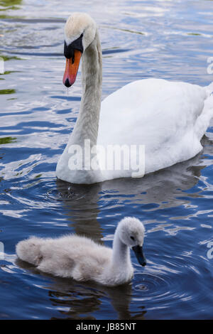 Female mute swan with one cygnet swimming in a lake - Stock Photo