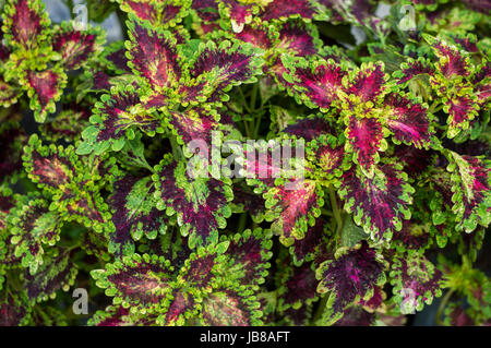 Colorful nettle leaves - Stock Photo