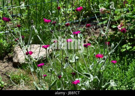 Lychnis Coronaria or Rose Campion shrub - Stock Photo