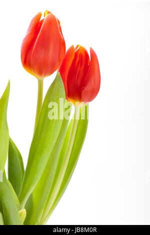 Schöne frische rote Tulpen als Blumenstrauß zu ostern und Valentinstag isoliert
