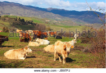View of cows grazing in the Altesina mountain - Stock Photo
