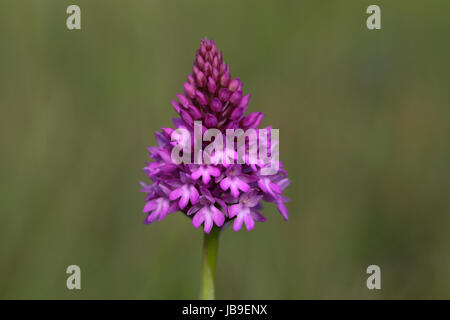 Pyramidal orchid (Anacamptis pyramidalis), flowering, Orchideenparadies Wasserliesch, Moselle, Rhineland-Palatinate, - Stock Photo