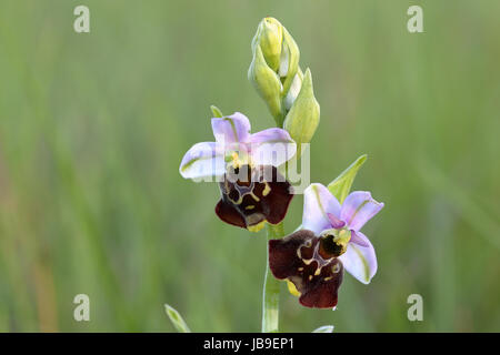 Late spider orchid (Ophrys holoserica), blossoms, Orchideensparadies Wasserliesch, Moselle, Rhineland-Palatinate, - Stock Photo