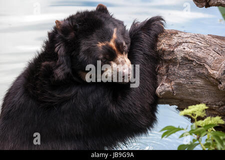 Spectacled bear (Tremarctos ornatus), standing in water, leaning against tree trunk, captive, Baden-Württemberg, - Stock Photo