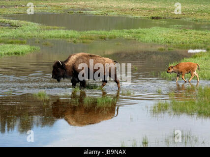 North American Bison and calve wade through flooded pasture land in the Hayden valley, Yellowstone National Park, - Stock Photo