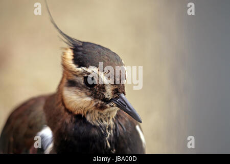 lapwing as portrait - Stock Photo